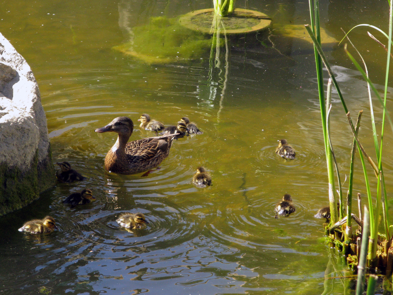 At a whopping eleven ducklings, this is the largest hatching we've ever had. Check out the flickr set for more photos.